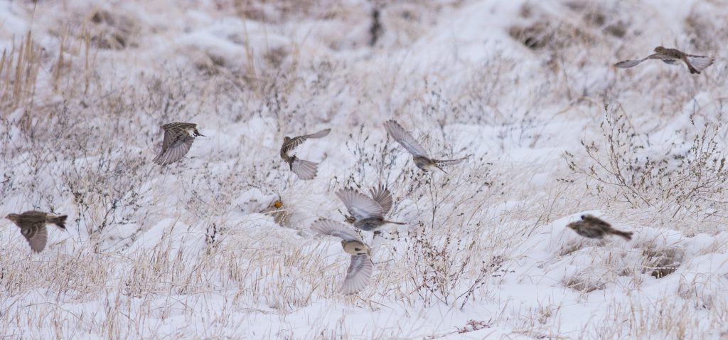 Wintering Chestnut-collared Longspurs in flight over snowy grassland